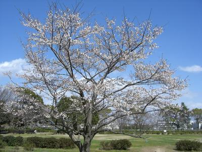 昆陽池桜.JPG
