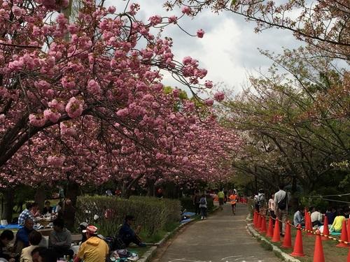 芦屋ファンラン桜.jpg